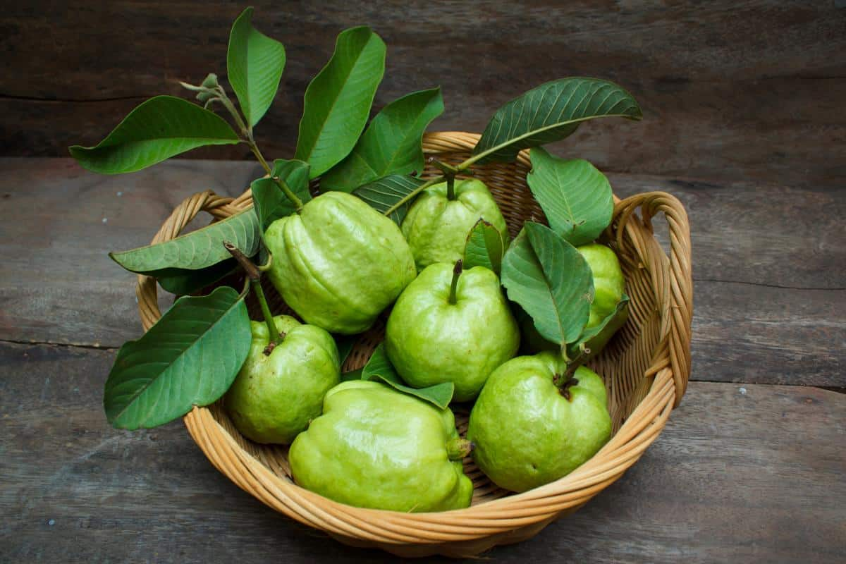 فوائد ورق الجوافة وطرق الاستخدام المتعددة