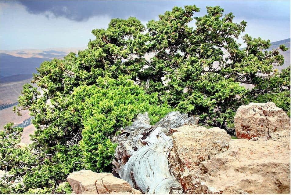 من النباتات المعمرة في وطني المملكة العربية السعوديةt